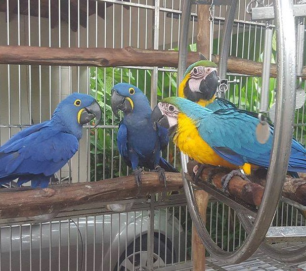 Hyacinth-Macaw-Parrots-010